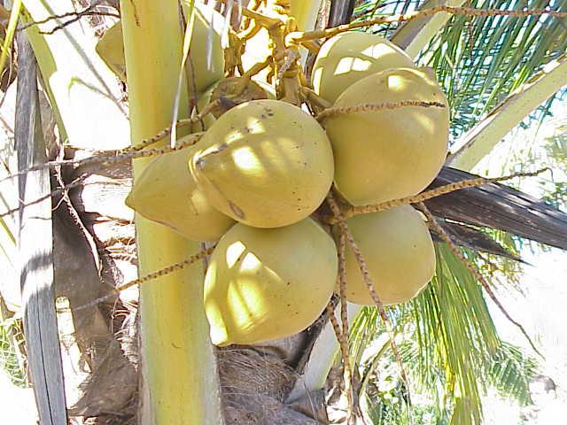 coco arbol
