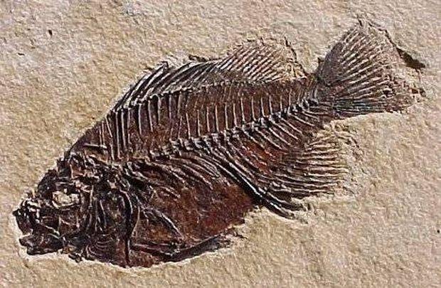 fosil pez