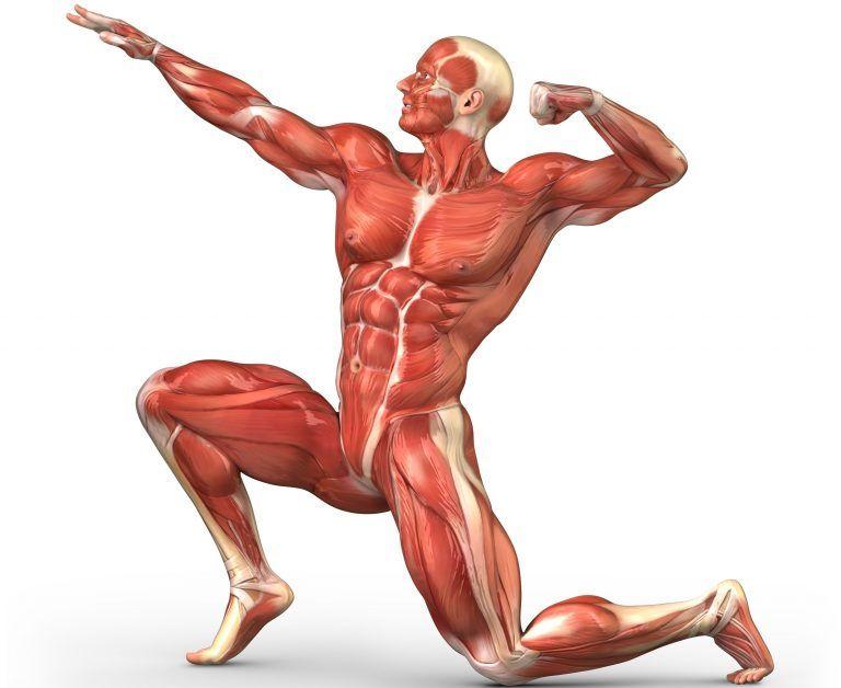 musculo-más-fuerte-del-cuerpo-humano