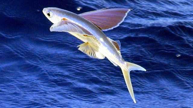 pez-volador